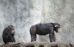 Chimpanzees Royalty Free Stock Photos
