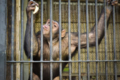 Chimpanzees in a cage. In Kiev Zoo royalty free stock image