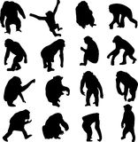 Chimpanzees are close relatives of humans Royalty Free Stock Image