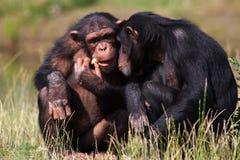 Chimpanzees eating a carrot royalty free stock photo
