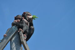 Chimpanzees Eating Green Leaves Royalty Free Stock Image