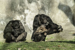 Chimpanzees  family. On a zoo Royalty Free Stock Photography