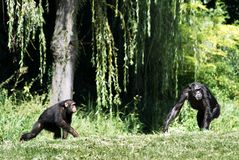 Chimpanzees in the grass. Two chimpanzees in the grass with a tree in the background Stock Photography
