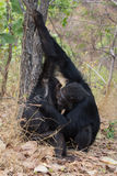 Chimpanzees grooming. Two male Eastern chimpanzees grooming under a tree Stock Photography