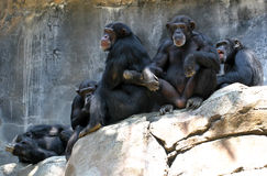 Chimpanzees Stock Image