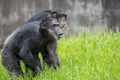 Chimpanzees howling Royalty Free Stock Image