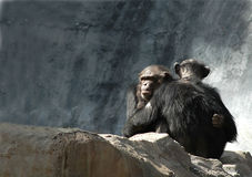 Chimpanzees hugging. Sitting on rock stock photo