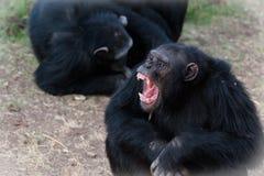 Chimpanzees Royalty Free Stock Image