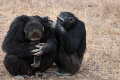 Chimpanzees Stock Images