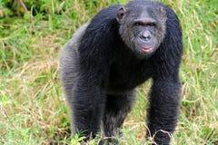 Chimpanzees stock photography