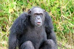 Chimpanzees Stock Photo