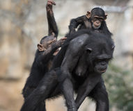 Chimpanzees mother Royalty Free Stock Photo