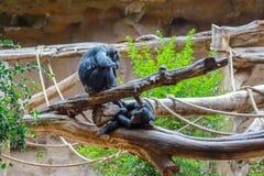 Chimpanzees on tree in the zoo stock photos
