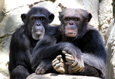 Chimpanzees Royalty Free Stock Photography