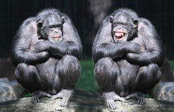The Chimpanzees. Two chimpanzees have a fun Royalty Free Stock Photos