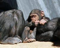 Chimpanzees Royalty Free Stock Photos