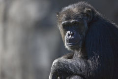 Chimpanzze Foto de archivo libre de regalías