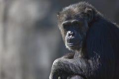 Chimpanzze Lizenzfreies Stockfoto