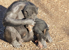 Chimpazee mother and baby Stock Photography