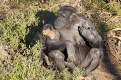 Chimpazee mother and baby Royalty Free Stock Images