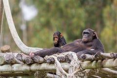 Chimpazee y tarde de reclinación del bebé Fotografía de archivo