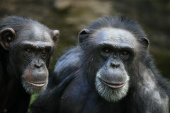 Chimps Royalty Free Stock Photography