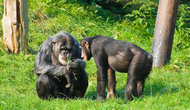 Chimps. Two Chimps soaking up the sun Stock Photo