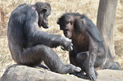 Chimps eat ice royalty free stock image