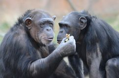 Chimps eating peanuts2 Royalty Free Stock Images