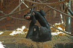 Chimps playing. A chimpanzee plays with her baby Stock Photo