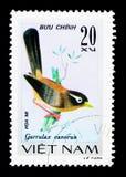 Chinês Hwamei (canorus) de Garrulax, serie das aves canoras, cerca de 1978 Imagem de Stock