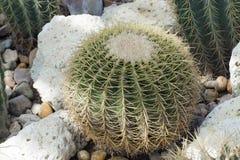 Кактус Chin (sp Gymnocalycium ), то Стоковое Фото