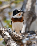 Chin spot batis sitting in a tree Royalty Free Stock Image