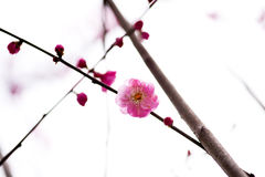 China& x27 όμορφο δαμάσκηνο του s Στοκ Εικόνες