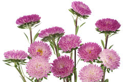China aster Royalty Free Stock Photo