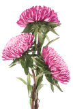 China aster Stock Photos