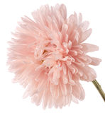 China aster Royalty Free Stock Photos