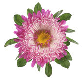China aster Royalty Free Stock Image