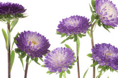 China aster Stock Photo