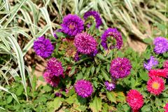 China aster or Callistephus chinensis plant with various dense shades of purple and red flowers surrounded with green leaves. China aster or Callistephus royalty free stock photo