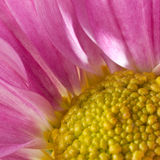 China Aster Stock Photography