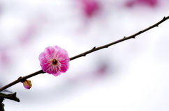 China& x27 ; belle prune de s Image stock