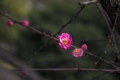 China& x27 ; belle prune de s Images stock