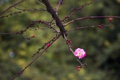 China& x27 ; belle prune de s Photos libres de droits