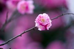 China& x27 ; belle prune de s Image libre de droits