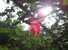China-Blume mit Sonnenunterganghintergrund Stockfotografie