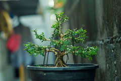 China box tree. Pot smalltree  wire branch stalk blackgroundblur Stock Image