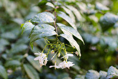 China box tree. It's fragrant white flowers Royalty Free Stock Images
