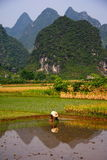 China / Countryside rice field work Royalty Free Stock Image