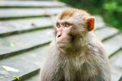China, das Wudang-Kloster, ein Affe im Park Lizenzfreies Stockfoto